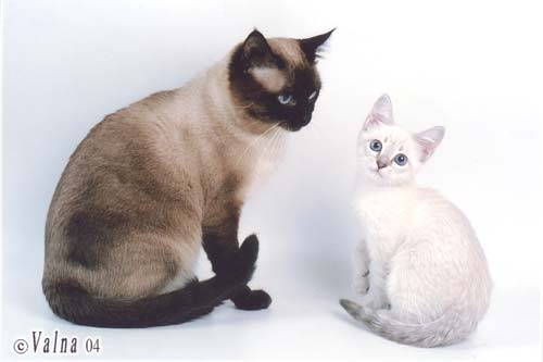 форум о тайских кошках