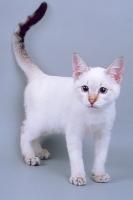 Котенок окраса сил-тэбби пойнт, 4 месяца
