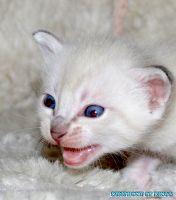 Котенок окраса сил-тэбби пойнт