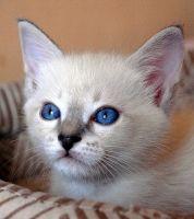 Котенок окраса сил-тэбби пойнт, 1.5 месяца
