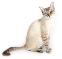 Взрослое животное окраса сил-тэбби пойнт, возраст 1,2 года. Чулалоке Тайская Легенда