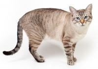 Взрослое животное окраса сил-тэбби пойнт, возраст 2,9 года. Чулалоке Тайская Легенда