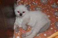 Котенок окраса сил пойнт, возраст 1 месяц