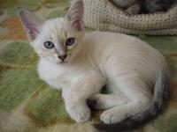 Котенок блю-теебби пойнт в возрасте 2 месяцев