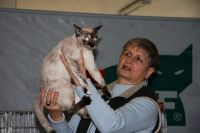 Татьяна Емельянова судит тайскую кошку окраса торти-пойнт