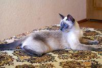 Блю-пойнт.  Взрослая кошка с затемнением Диорелла Тайская легенда