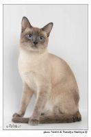 Блю-пойнт.  Взрослый кот W.Ch. Девараджа Тайская Легенда