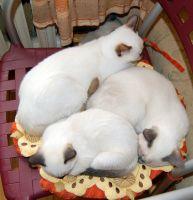 Котята окрасов шоколад-, блю- и сил-пойнт