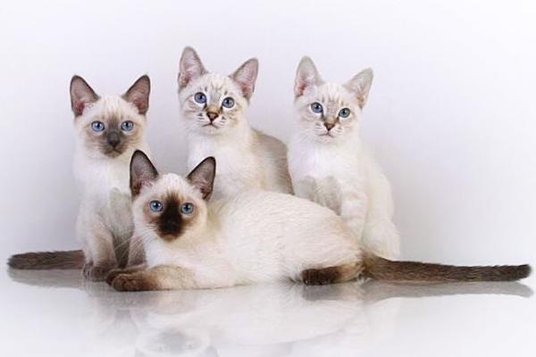 купить тайского котёнка