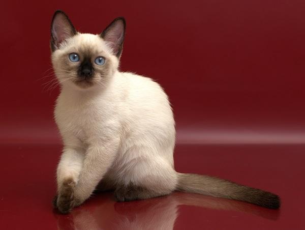 купить тайского котёнка Котята питомника Di Olisava